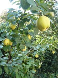 Plody kdoule